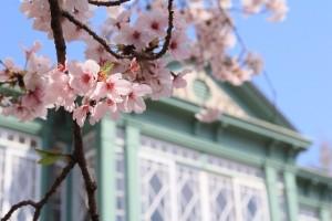 満開の桜と緑色の洋館