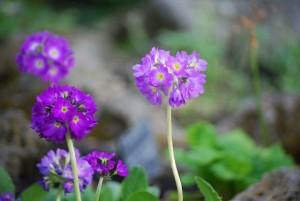 紫のサクラソウ